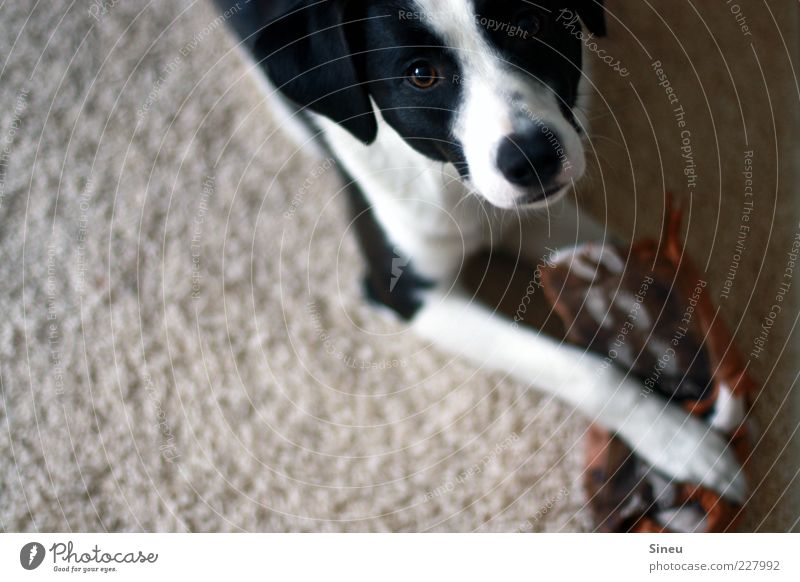Beautiful Animal Playing Dog Lie Broken Cute Observe Animal face Curiosity Discover Destruction Surprise Paw Bans Carpet