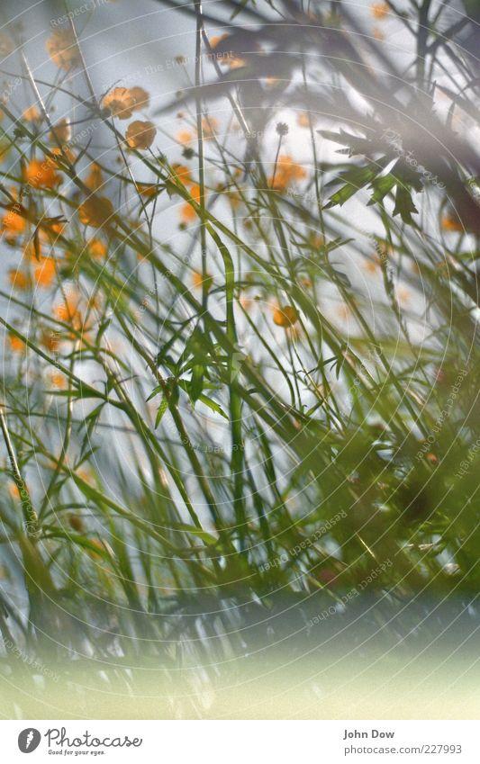 muddle Spring Summer Plant Flower Grass Meadow Green Surrealism Chaos Muddled Crowfoot Summerflower Flower meadow Lomography Analog Blur Yellow Exterior shot