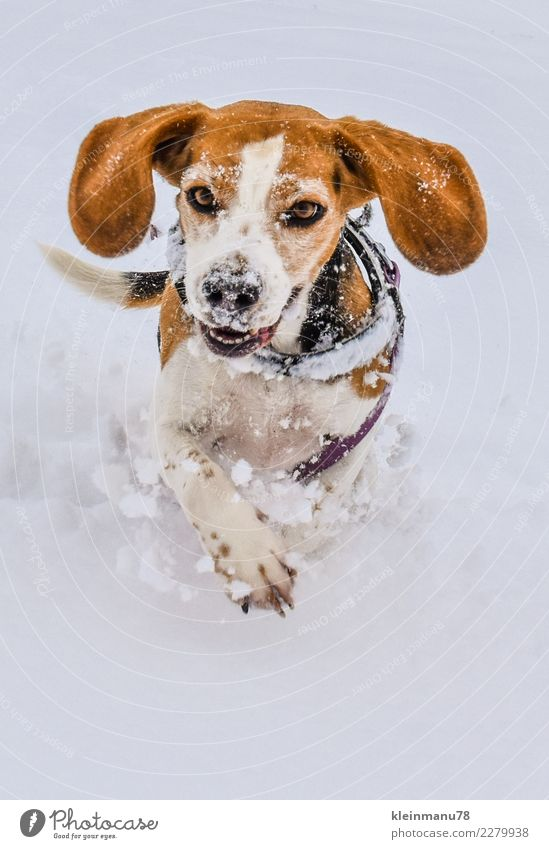 dog luck Athletic Winter Ice Frost Snow Animal Pet Dog Animal face Paw Animal tracks Beagle 1 Running Movement Fitness Flying To enjoy Smiling Walking Sports