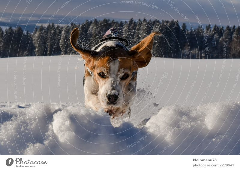 winter jump Freedom Winter Snow Winter vacation Sports Fitness Sports Training Animal Pet Dog Beagle 1 Crystal Water Movement Flying Hunting Jump Happiness