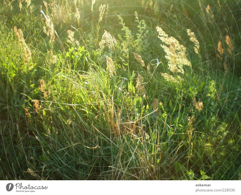 summer meadow Summer Nature Sunlight Wind Plant Grass Meadow Authentic Natural Green Environment Summery Pollen Wild Colour photo Exterior shot Deserted Evening