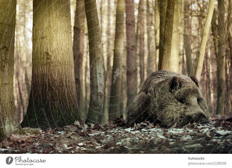 Wild boar sleeps Nature Autumn Winter Ice Frost Tree Forest Animal Wild animal Pelt 1 Lie Sleep Dream Brown Green Calm spring fever Fatigue Tree trunk Leaf
