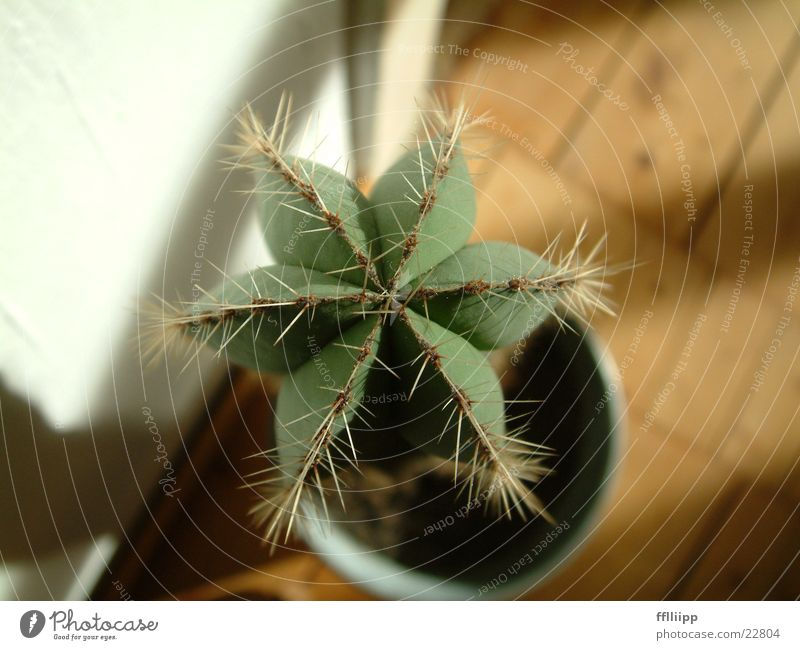 Green Plant Star (Symbol) Cactus