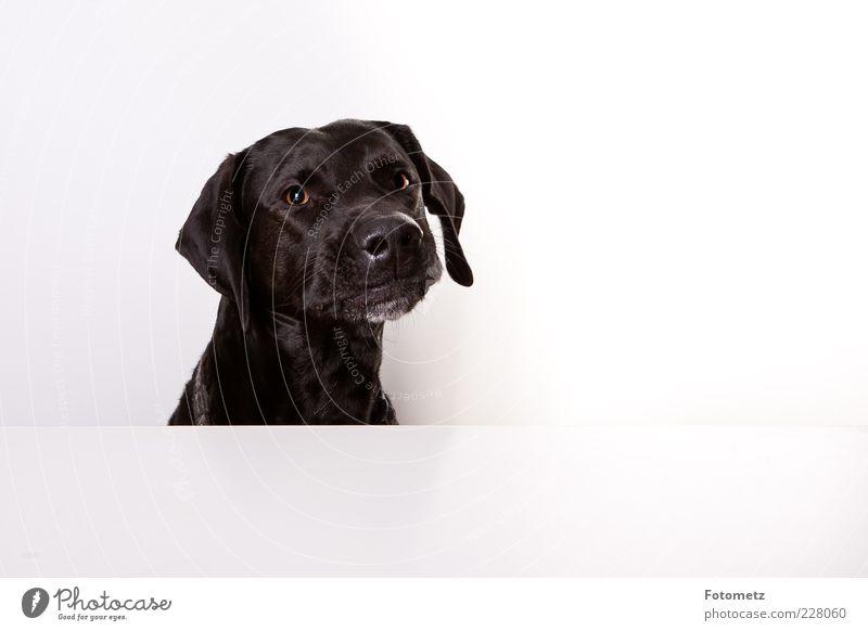 Beautiful Black Animal Dog Funny Authentic Exceptional Cute Animal face Pelt Brash Pet Astute Dog's snout Puppydog eyes Dog eyes