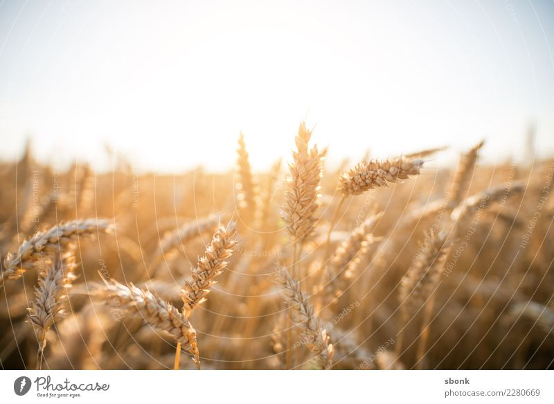 cornfield Environment Nature Landscape Plant Meadow Field Kitsch Cornfield Grain Wheat Agriculture Sowing Exterior shot Light Shadow Contrast Silhouette