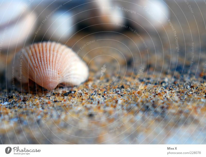 seashell Beach Small Mussel Mussel shell Sand Sandy beach Cockle Colour photo Exterior shot Close-up Deserted Copy Space bottom Shallow depth of field