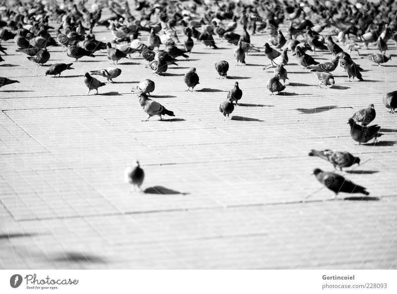 Animal Bird Places Wild animal Wing Many Pigeon Turkey Flock Istanbul Plagues Black & white photo Group of animals Taksim