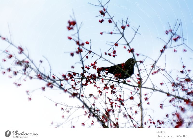 Blackbird on a branch with rowan berries Rawanberry Silhouette Bird Berries Loneliness Rowan tree Twig Ambience November November picture Moody Branch Calm