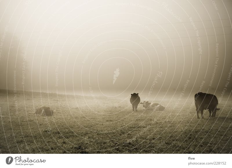 hang out Nature Autumn Weather Bad weather Fog Plant Meadow Cow Group of animals Cold Moody Indifferent Gloomy Grass Pasture Fatigue Stand Lie Colour photo