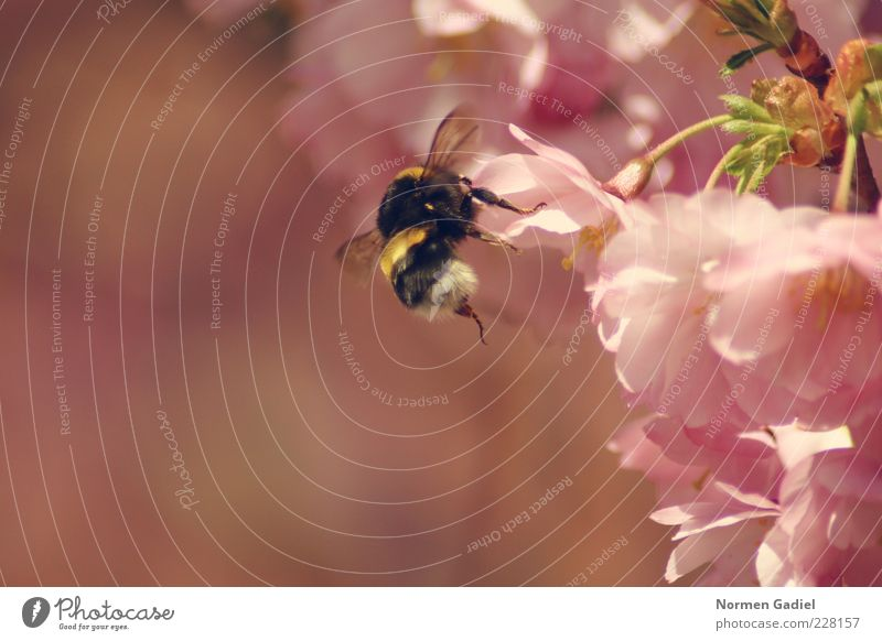bumblebee Environment Nature Spring Animal Bumble bee Spring fever Colour photo Exterior shot Macro (Extreme close-up) Day Light Sunlight Blur Blossom leave