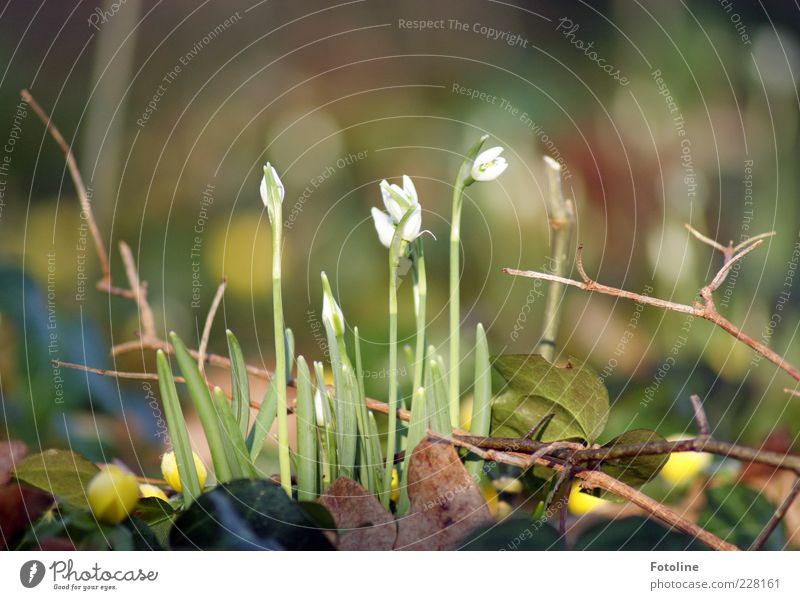 spring awakening Environment Nature Plant Elements Spring Flower Blossom Wild plant Bright Natural Brown Green White Snowdrop Spring flowering plant Blossoming