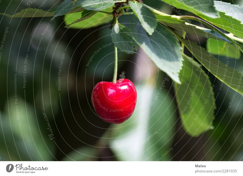 cherry Cherry Berries Tree Twig Leaf Red Green Sour Sweet Fruit Food Fresh Exclusion Mature Nature Healthy Eating Organic Juicy Macro (Extreme close-up) Dessert