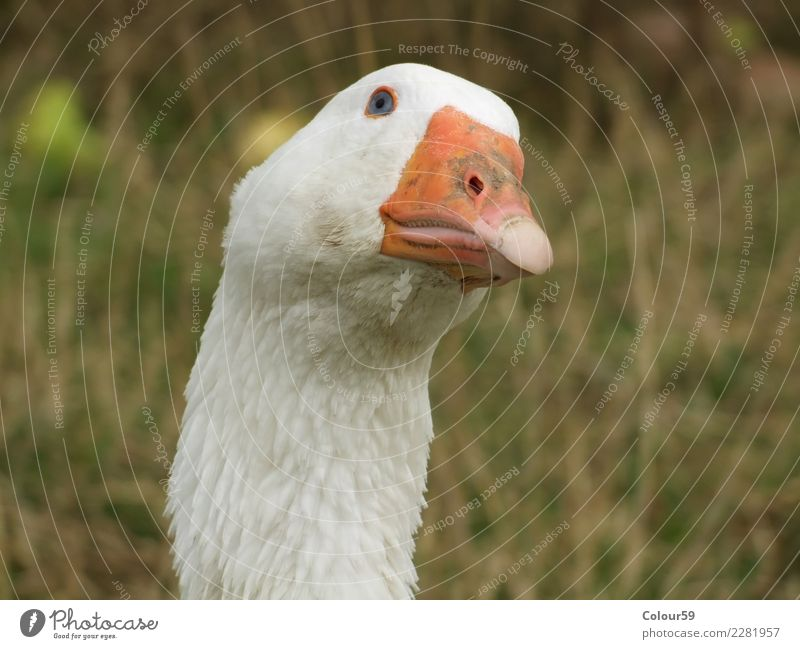 goose Food Animal Farm animal Bird Animal face 1 Natural White Goose Poultry swimming animal Feather Christmas roast Frying Eating Roasted goose Animal portrait