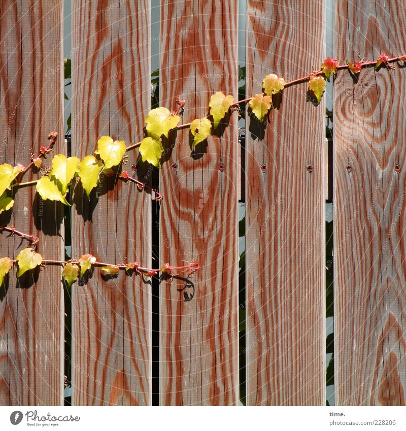 Carport Deco Life Sun Environment Nature Plant Leaf Wood Growth Hot Dry Yellow Vine Creeper Tendril Wooden wall Wooden fence Fence Wooden board Natural growth