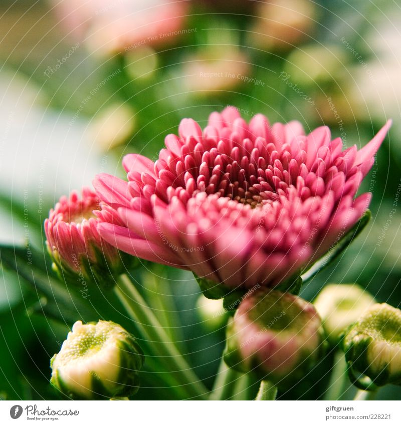 springtime Environment Nature Plant Spring Flower Blossom Blossoming Growth Simple Fresh Beautiful Pink Part of the plant Colour photo Close-up Detail