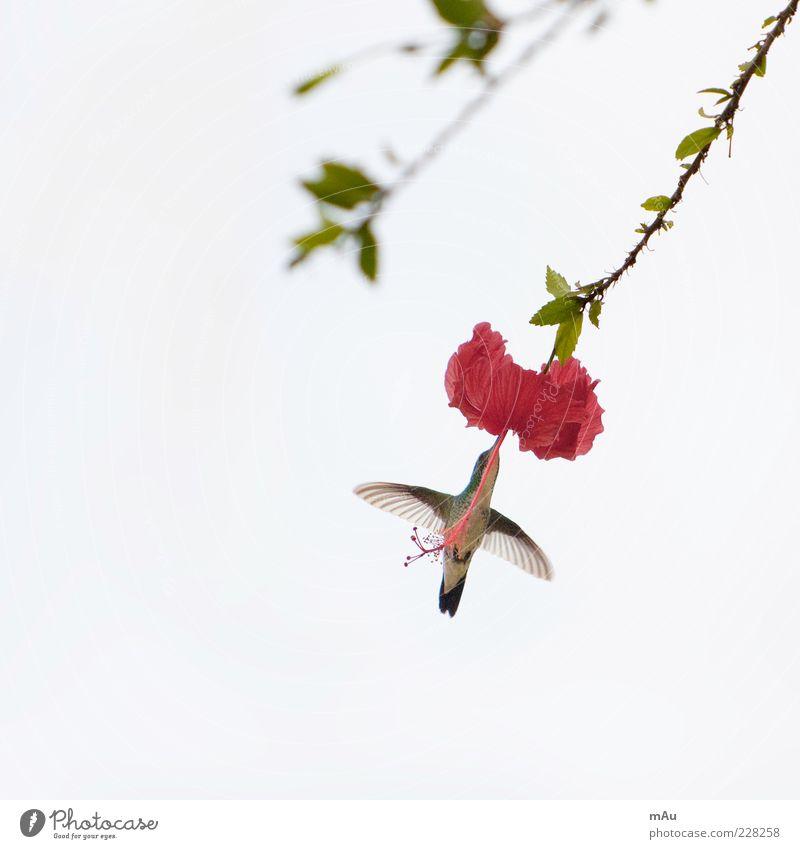 Beija Flor .3 Nature Animal Flower Blossom Exotic Bird 1 Flying To feed Brazil Hummingbirds Colour photo Exterior shot Morning Worm's-eye view Animal portrait