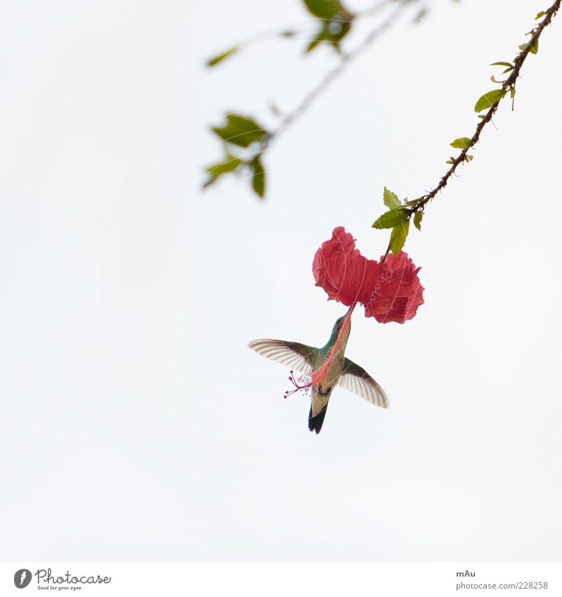 Nature Flower Animal Blossom Small Bird Flying Wing Exotic To feed Brazil Flight of the birds Hummingbirds