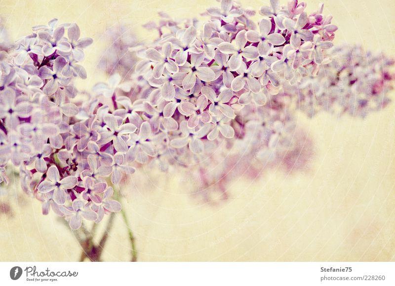 Lilac Nature Beautiful Plant Summer Joy Flower Blossom Spring Dream Bright Pink Elegant Fresh Esthetic Happiness Natural