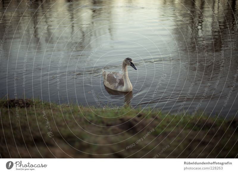 Swan Environment Nature Water Grass River bank Animal Wild animal Wing 1 Free Brown Gray Green Calm Colour photo Exterior shot Deserted Evening Reflection