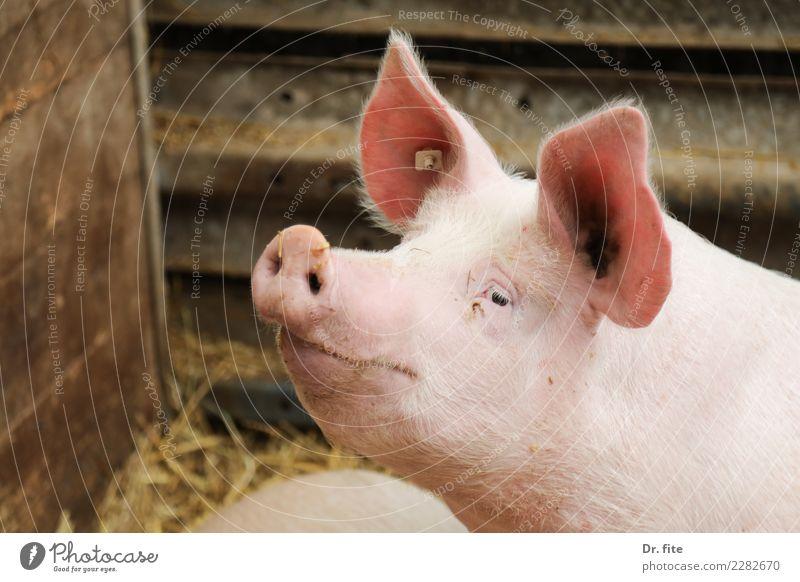 Animal Happy Meat Animal face Swine Farm animal