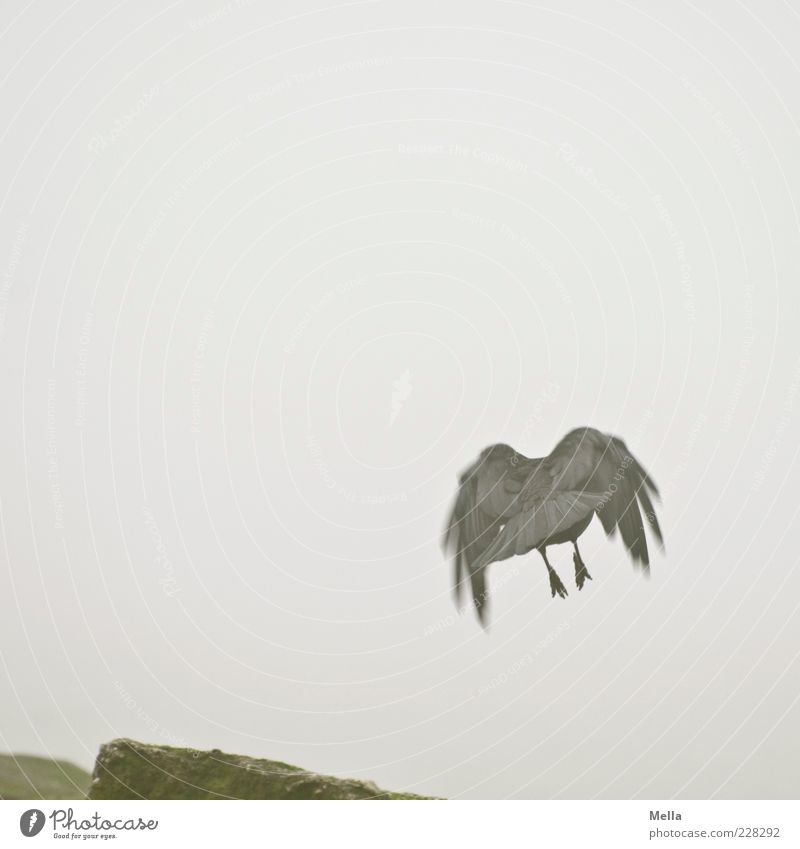 Nature Animal Gray Movement Stone Air Bird Fog Flying Gloomy Departure Crow Flight of the birds Carrion crow
