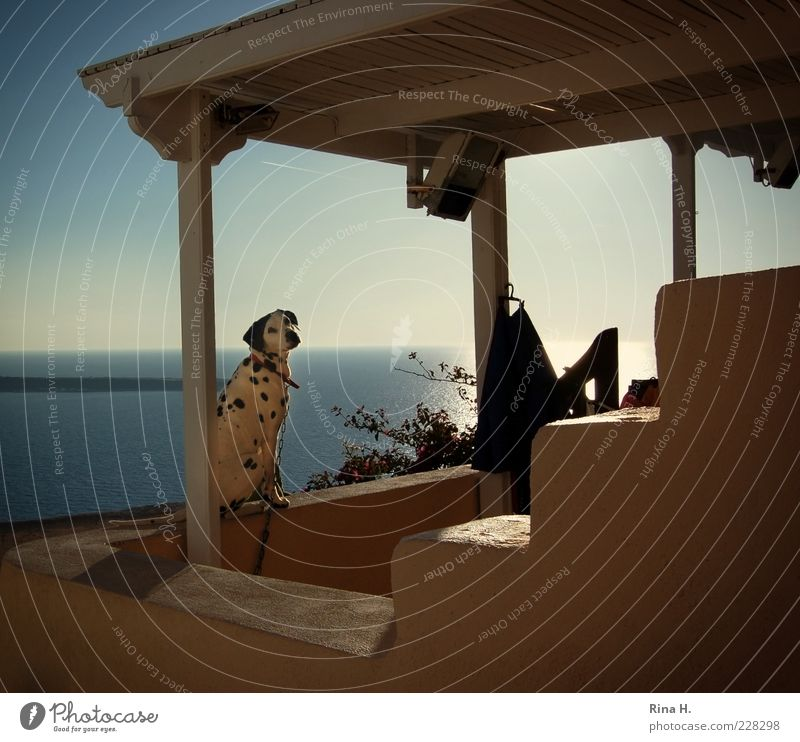 Vacation & Travel Summer Ocean Calm Animal Dog Contentment Sit Wait Tourism Longing Terrace Pet Greece Dalmatian Santorini