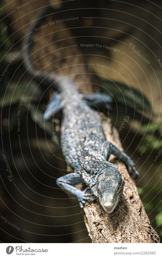 blue iguana Animal Animal face Scales Paw 1 Dark Exotic Blue Brown Green Saurians Muzzle Open Branch Iguana Colour photo Subdued colour Close-up Deserted