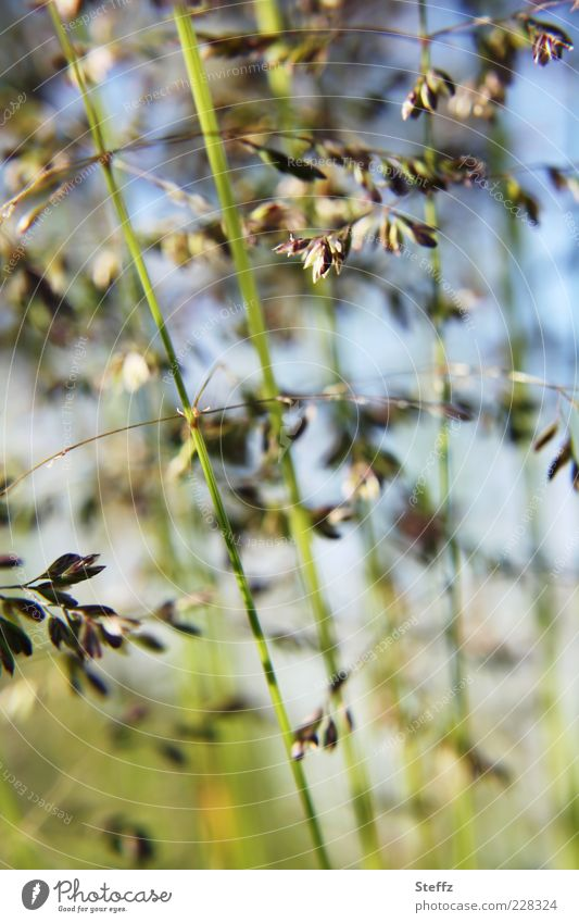 grass whispering Grass grasses Blade of grass Grass meadow Meadow Wild plant Simple naturally Ethnic Bright green Grass green Green Grass blossom Foliage plant