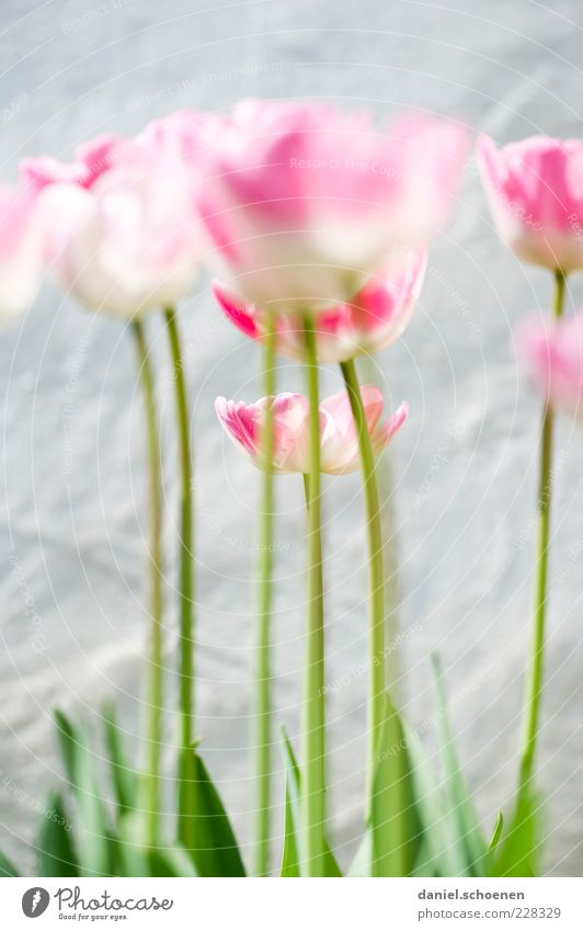 Nature White Green Plant Flower Leaf Blossom Spring Bright Pink Tulip Blossom leave Flower stem Tulip blossom