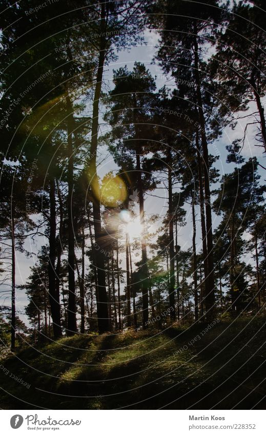 Nature Tree Plant Summer Forest Meadow Landscape Bright Coniferous trees Lens flare Coniferous forest