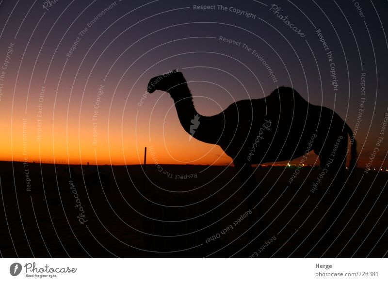sunset camel Animal 1 Esthetic Love of animals Contempt Vacation & Travel Colour photo Evening