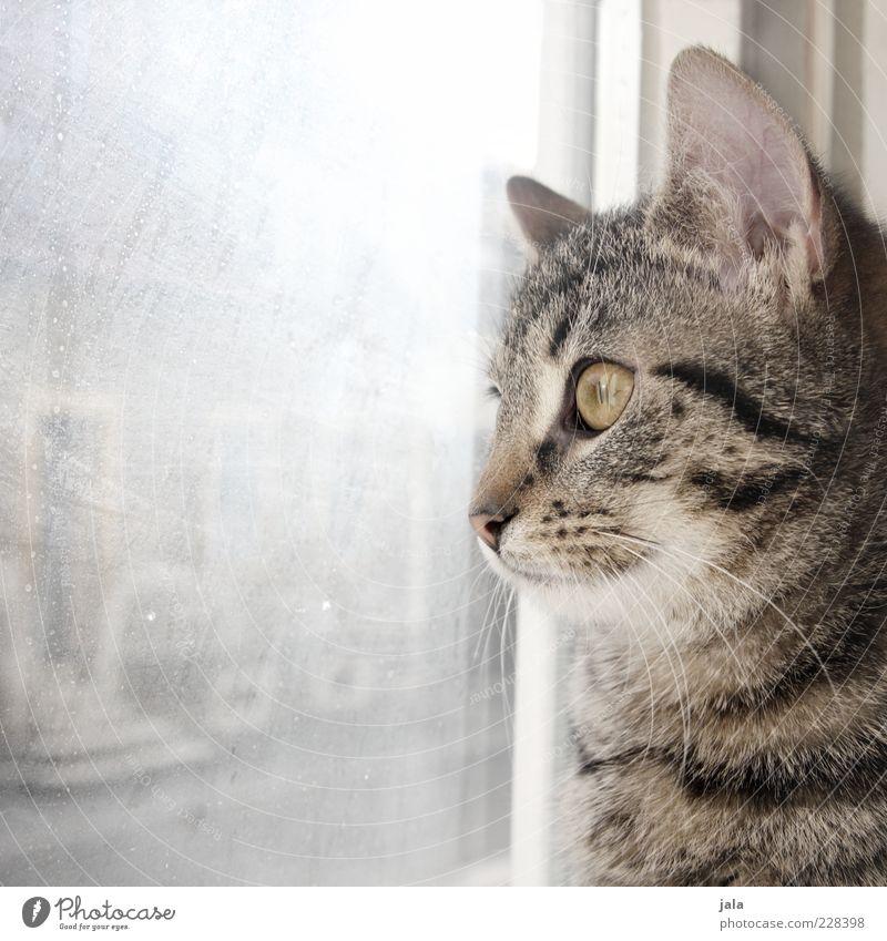 800 | cuddlier Animal Pet Cat 1 Beautiful Observe Window Glass Slice Domestic cat Colour photo Interior shot Deserted Copy Space left Day Light Sunlight
