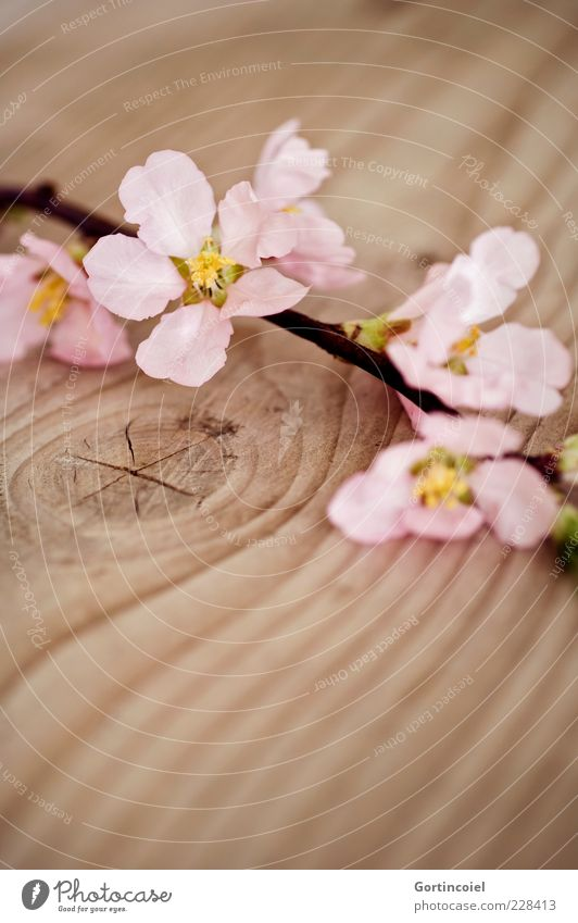 Nature Beautiful Plant Flower Blossom Spring Pink Decoration Twig Blossom leave Wood grain Tree Spring fever Wooden table Furniture Knothole