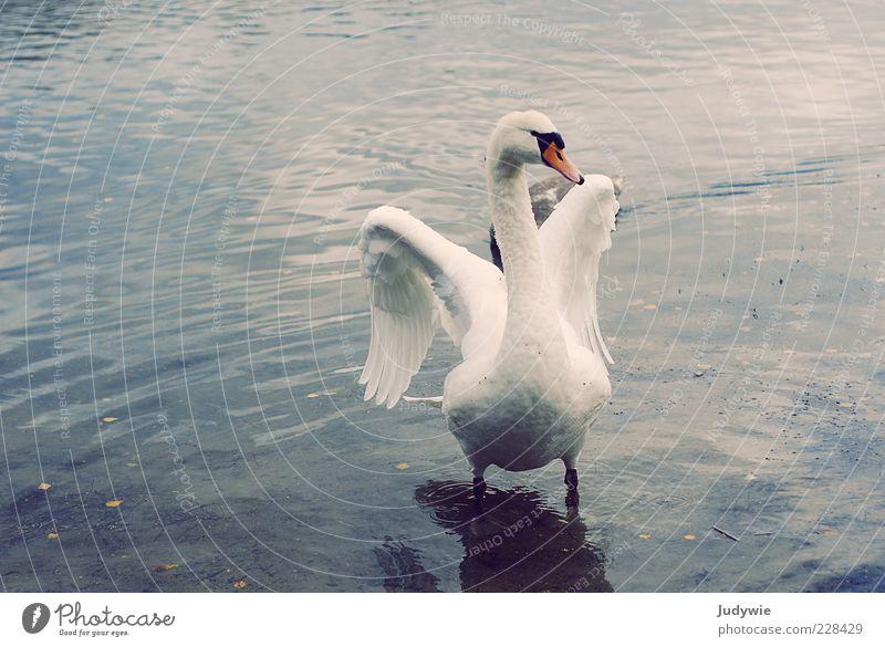 majestically Elegant Beautiful Freedom Environment Nature Water Winter Pond Lake Animal Bird Wing Feather Swan Esthetic Blue White Emotions Power Determination
