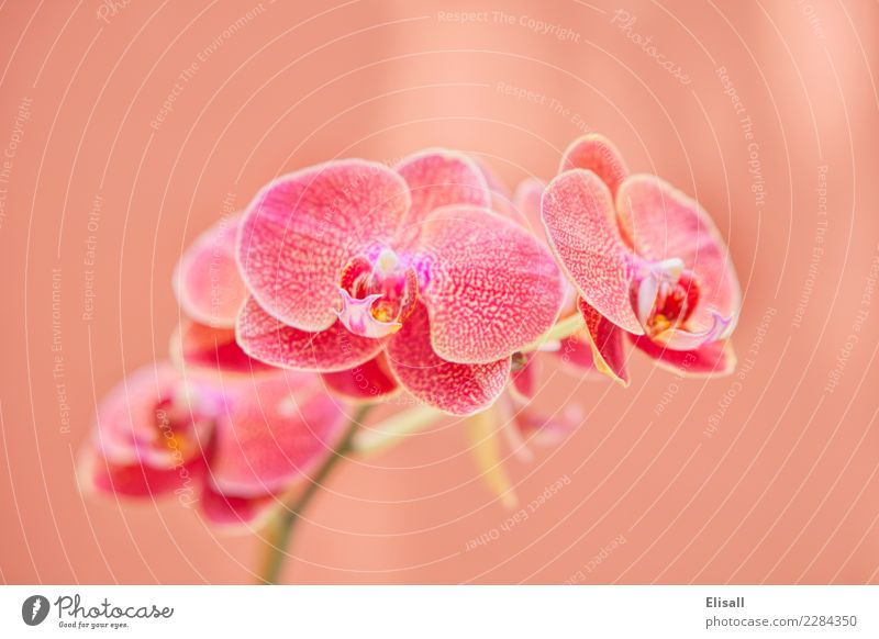 Tropical Orchid Plant Nature Elegant Orchid blossom Botany Pastel tone Exotic Flower Flowering plant Blossom Garden Gardening equipment Exterior shot