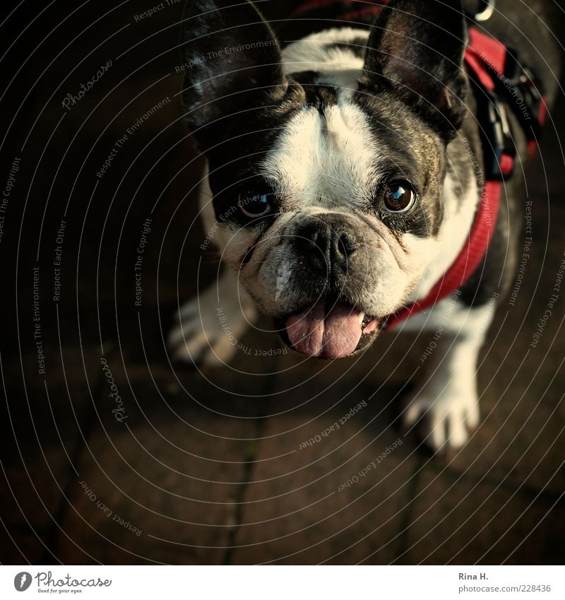 What now, let's go for a walk? Animal Pet Dog Animal face 1 Sympathy Desire Plead To go for a walk Tongue Dog lead Dog collar Beg Purebred dog Bulldog