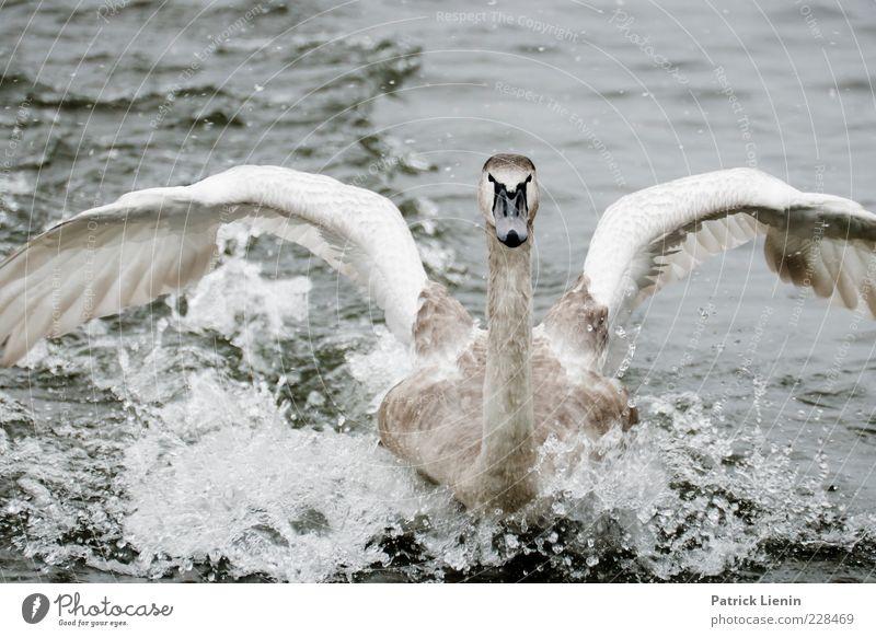 safe landing Environment Nature Animal Elements Drops of water Wild animal Swan Wing 1 Elegant Beautiful Near Curiosity Landing Flying Gray White Looking Span