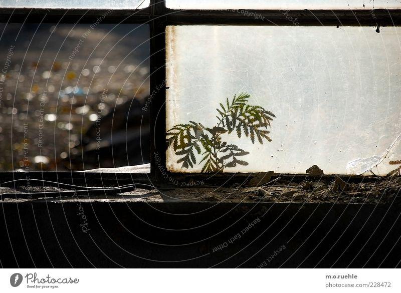 Beautiful Plant Window Wood Power Glass Esthetic Broken Cute Factory Decline Joie de vivre (Vitality) Fern Fragile Industrial plant Foliage plant