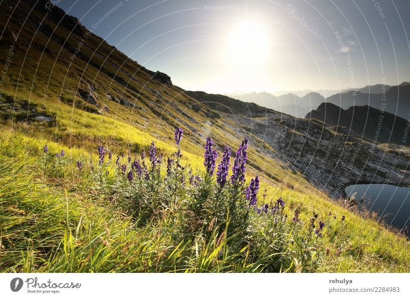 morning sunshine over purple alpine flowers in mountains Summer Sun Mountain Landscape Plant Water Sky Sunrise Sunset Beautiful weather Flower Meadow Hill Alps