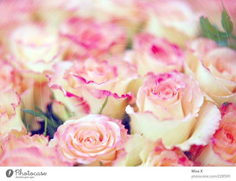 Girls photo deluxe Spring Flower Rose Blossom Blossoming Fragrance Kitsch Rose leaves Rose blossom Pink Delicate Smooth Bouquet Colour photo Multicoloured