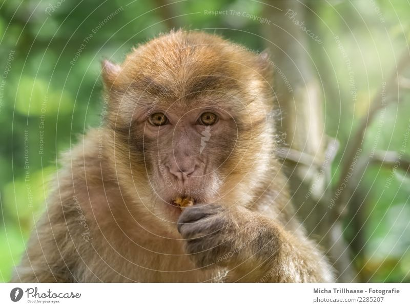 Small snack in between Fruit Nut Walnut Nutrition Eating Nature Animal Sun Beautiful weather Tree Bushes Wild animal Animal face Pelt Monkeys Barbary ape Eyes