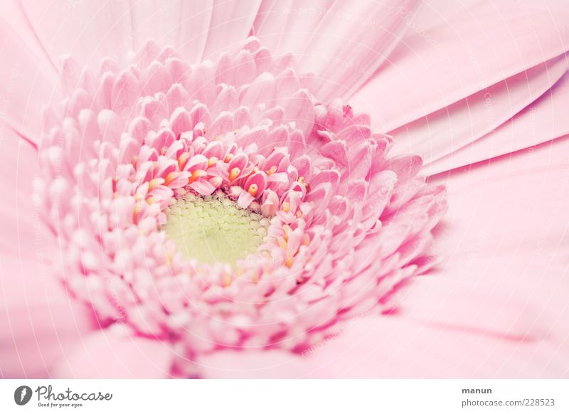 Miss Pinky Decoration Nature Flower Blossom Esthetic Fragrance Bright Kitsch Natural Beautiful Spring fever Elegant Colour photo Close-up Detail