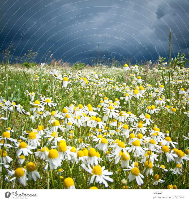 Blue Green Yellow Meadow Grass Field Threat Illuminate Blossoming Storm Thunder and lightning Marguerite Storm clouds Blossom leave Herbs and spices Chamomile