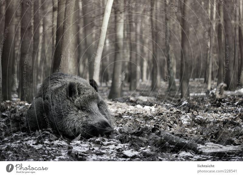Nature Tree Leaf Winter Animal Forest Autumn Death Environment Dream Lie Sleep Wild animal Threat Tree trunk Swine