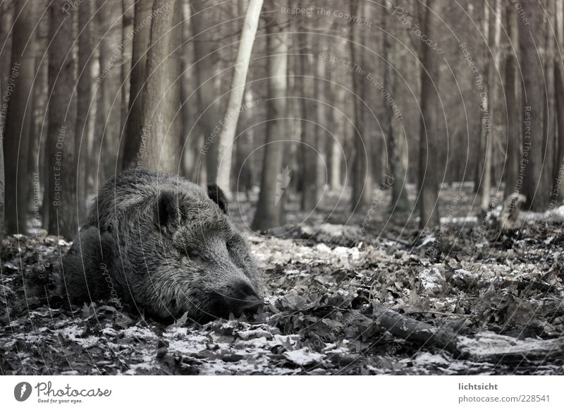 Wild boar sleeps II Environment Nature Autumn Winter Tree Forest Animal Wild animal 1 Sleep Sow Swine Leaf Woodground Threat Dream Lie Black & white photo