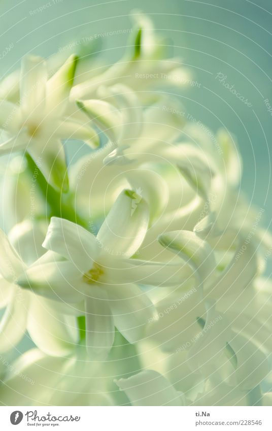 Heralds of Spring Part II Environment Nature Beautiful weather Plant Flower Blossom Hyacinthus Garden Blossoming Fragrance Bright Blue Green White Spring fever