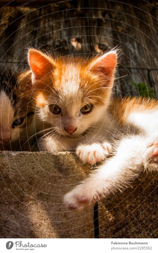 Cat White Relaxation Animal Black Baby animal Brown Orange Above Lie Cute Curiosity Ear Pet Animal face Paw