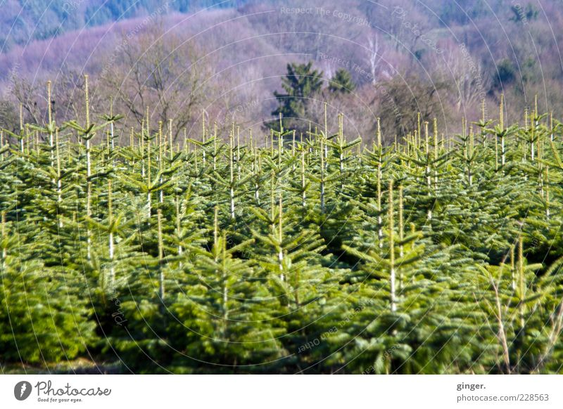RENEWS Environment Landscape Plant Winter Tree Agricultural crop Forest Growth Green Tree nursery Coniferous trees Offspring Fir branch Copy Space top