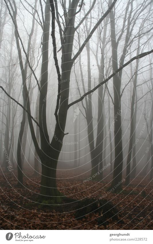 fairytale forest Environment Nature Landscape Plant Air Autumn Winter Weather Fog Tree Wild plant Forest Esthetic Authentic Fantastic Creepy Natural Brown Gray
