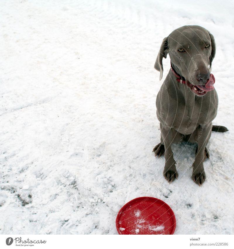 Dog Red Animal Winter Emotions Snow Fresh Authentic Sit Wait Joie de vivre (Vitality) Sign Break Trust Pelt Relationship